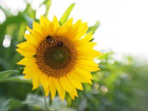 Sonneblume mit Hummeln